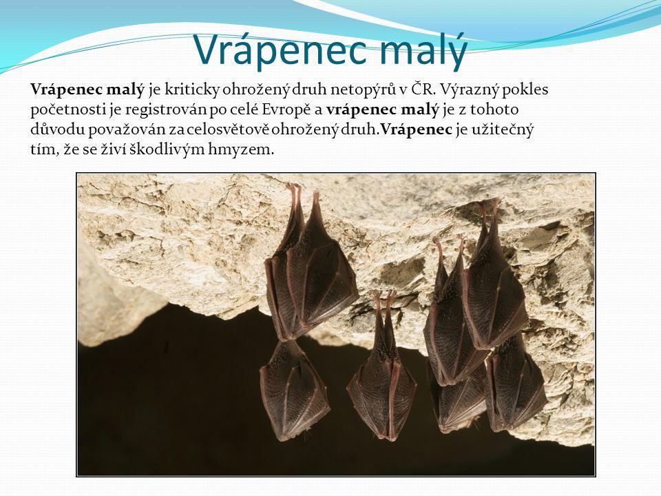 Vrápenec malý Vrápenec malý je kriticky ohrožený druh netopýrů v ČR. Výrazný pokles početnosti je registrován po celé Evropě a vrápenec malý je z toho