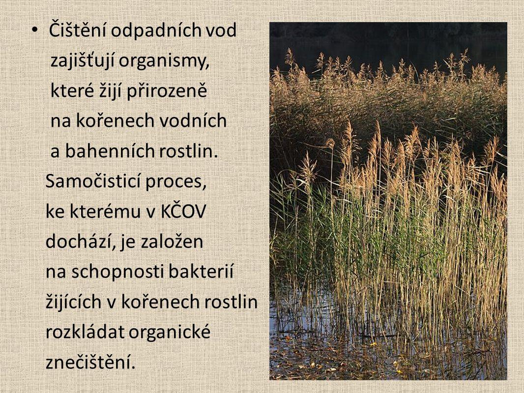 Čištění odpadních vod zajišťují organismy, které žijí přirozeně na kořenech vodních a bahenních rostlin.