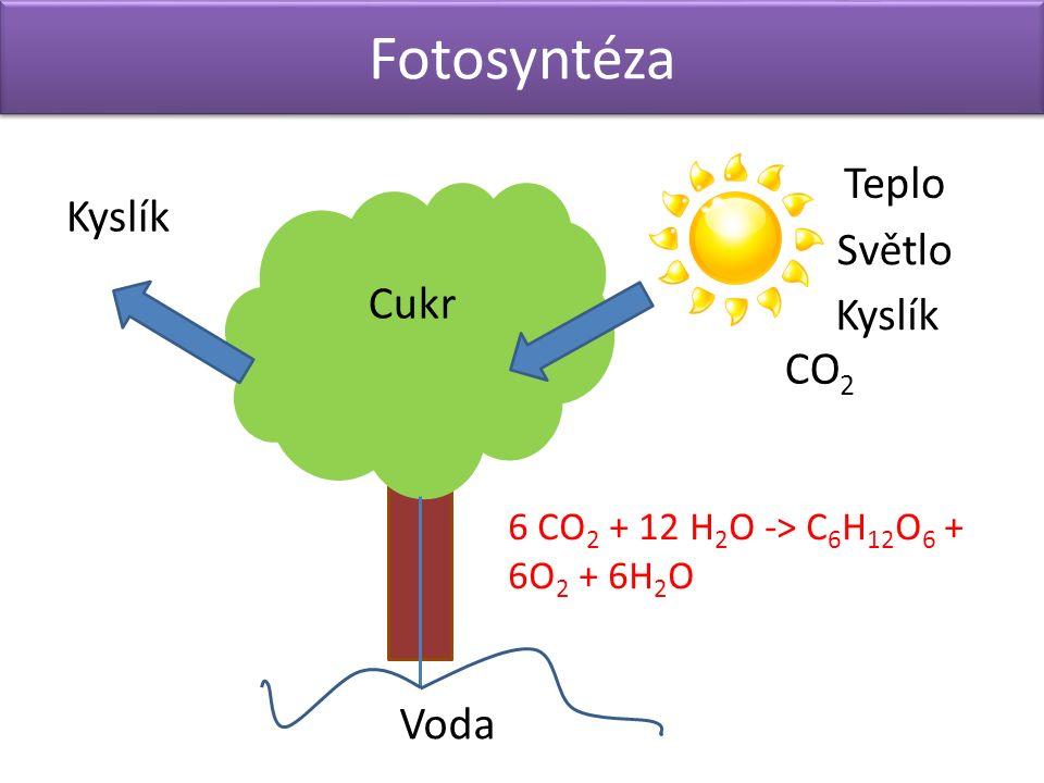 Fotosyntéza Teplo Světlo Kyslík CO 2 Cukr Voda 6 CO 2 + 12 H 2 O -> C 6 H 12 O 6 + 6O 2 + 6H 2 O Kyslík