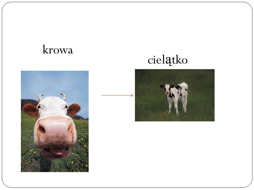 krowa ciel ą tko