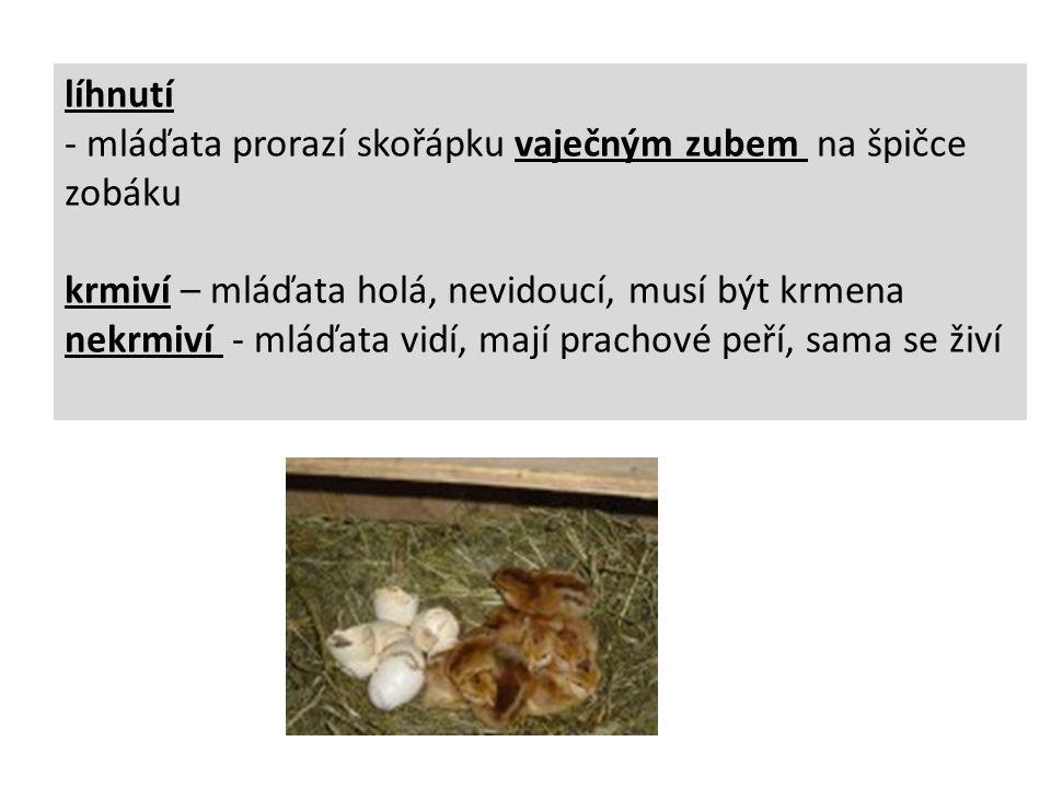 líhnutí - mláďata prorazí skořápku vaječným zubem na špičce zobáku krmiví – mláďata holá, nevidoucí, musí být krmena nekrmiví - mláďata vidí, mají prachové peří, sama se živí