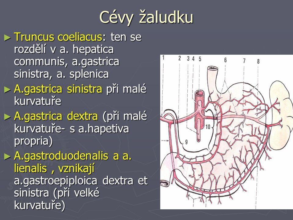 Cévy žaludku ► Truncus coeliacus: ten se rozdělí v a.
