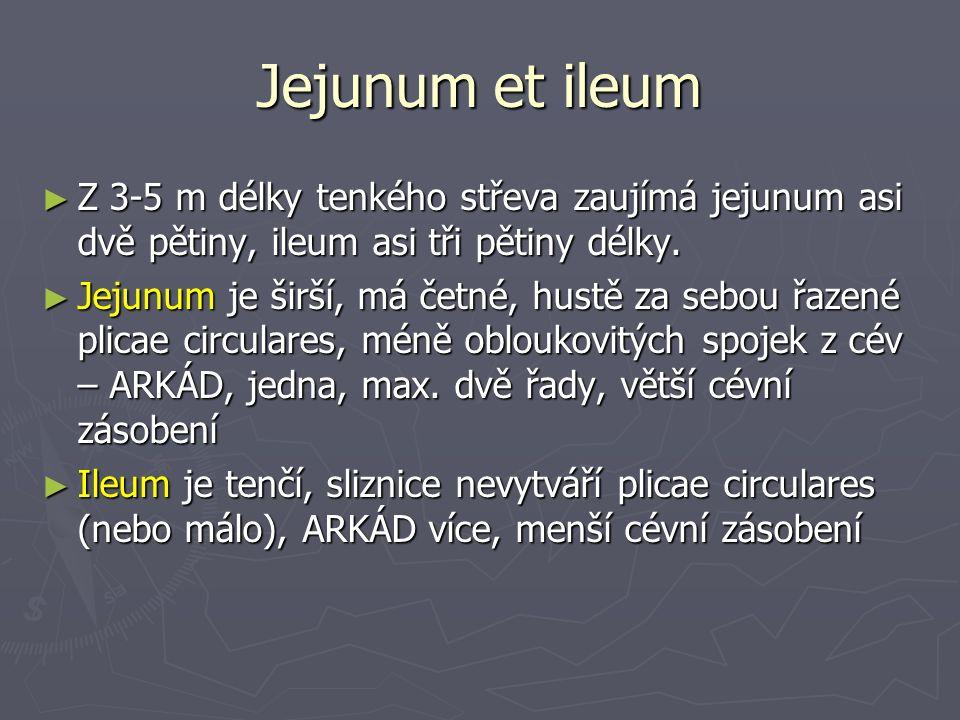Jejunum et ileum ► Z 3-5 m délky tenkého střeva zaujímá jejunum asi dvě pětiny, ileum asi tři pětiny délky.