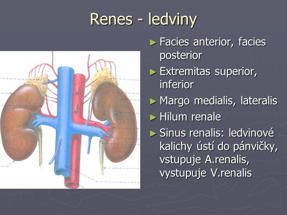 Renes - ledviny ► Facies anterior, facies posterior ► Extremitas superior, inferior ► Margo medialis, lateralis ► Hilum renale ► Sinus renalis: ledvinové kalichy ústí do pánvičky, vstupuje A.renalis, vystupuje V.renalis