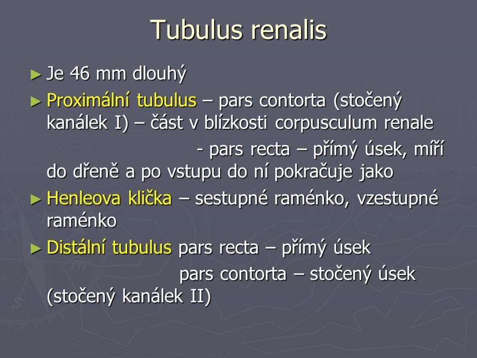 Tubulus renalis ► Je 46 mm dlouhý ► Proximální tubulus – pars contorta (stočený kanálek I) – část v blízkosti corpusculum renale - pars recta – přímý úsek, míří do dřeně a po vstupu do ní pokračuje jako - pars recta – přímý úsek, míří do dřeně a po vstupu do ní pokračuje jako ► Henleova klička – sestupné raménko, vzestupné raménko ► Distální tubulus pars recta – přímý úsek pars contorta – stočený úsek (stočený kanálek II) pars contorta – stočený úsek (stočený kanálek II)
