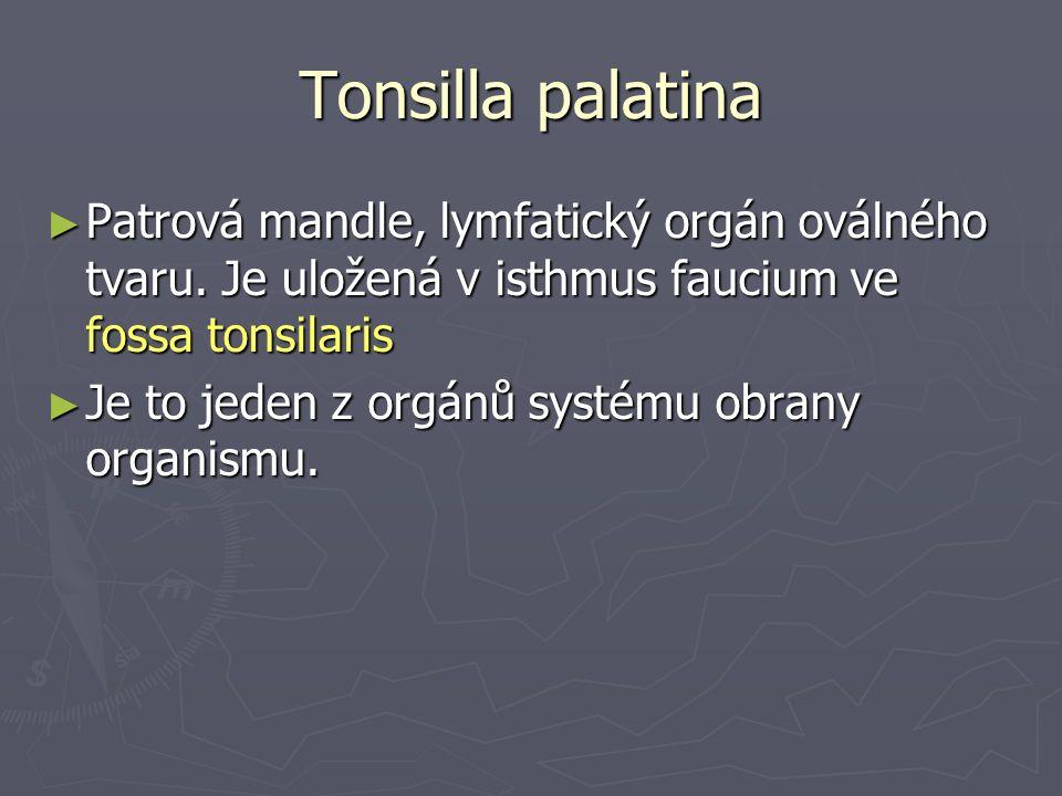 Tonsilla palatina ► Patrová mandle, lymfatický orgán oválného tvaru.