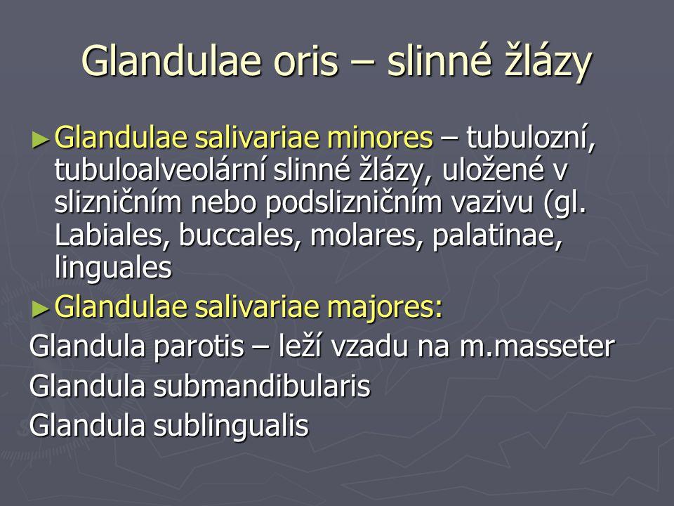 Glandulae oris – slinné žlázy ► Glandulae salivariae minores – tubulozní, tubuloalveolární slinné žlázy, uložené v slizničním nebo podslizničním vazivu (gl.