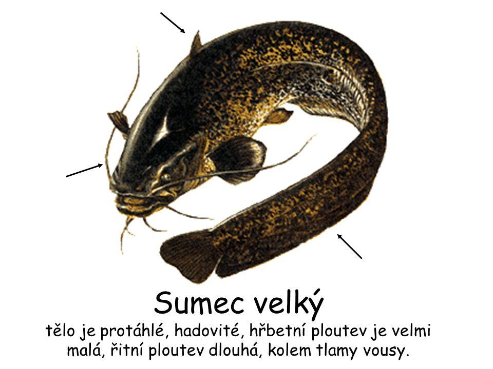 Sumec velký tělo je protáhlé, hadovité, hřbetní ploutev je velmi malá, řitní ploutev dlouhá, kolem tlamy vousy.