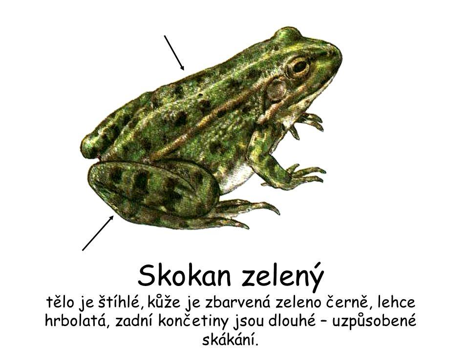 Skokan zelený tělo je štíhlé, kůže je zbarvená zeleno černě, lehce hrbolatá, zadní končetiny jsou dlouhé – uzpůsobené skákání.