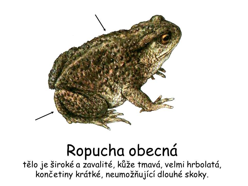 Ropucha obecná tělo je široké a zavalité, kůže tmavá, velmi hrbolatá, končetiny krátké, neumožňující dlouhé skoky.
