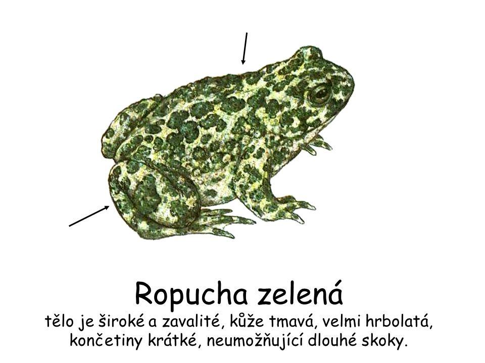 Ropucha zelená tělo je široké a zavalité, kůže tmavá, velmi hrbolatá, končetiny krátké, neumožňující dlouhé skoky.