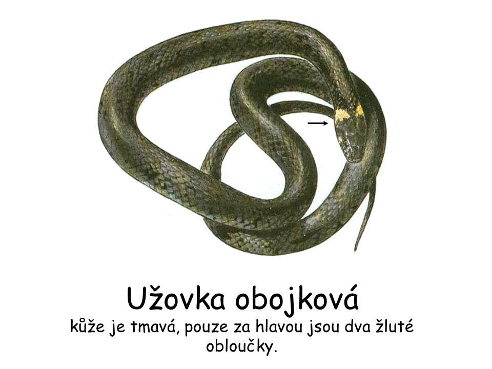 Užovka obojková kůže je tmavá, pouze za hlavou jsou dva žluté obloučky.