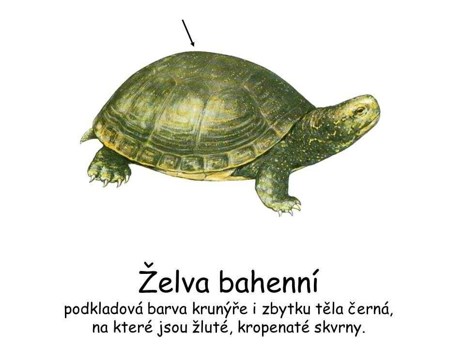 Želva bahenní podkladová barva krunýře i zbytku těla černá, na které jsou žluté, kropenaté skvrny.