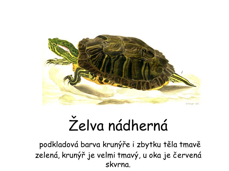 Želva nádherná podkladová barva krunýře i zbytku těla tmavě zelená, krunýř je velmi tmavý, u oka je červená skvrna.