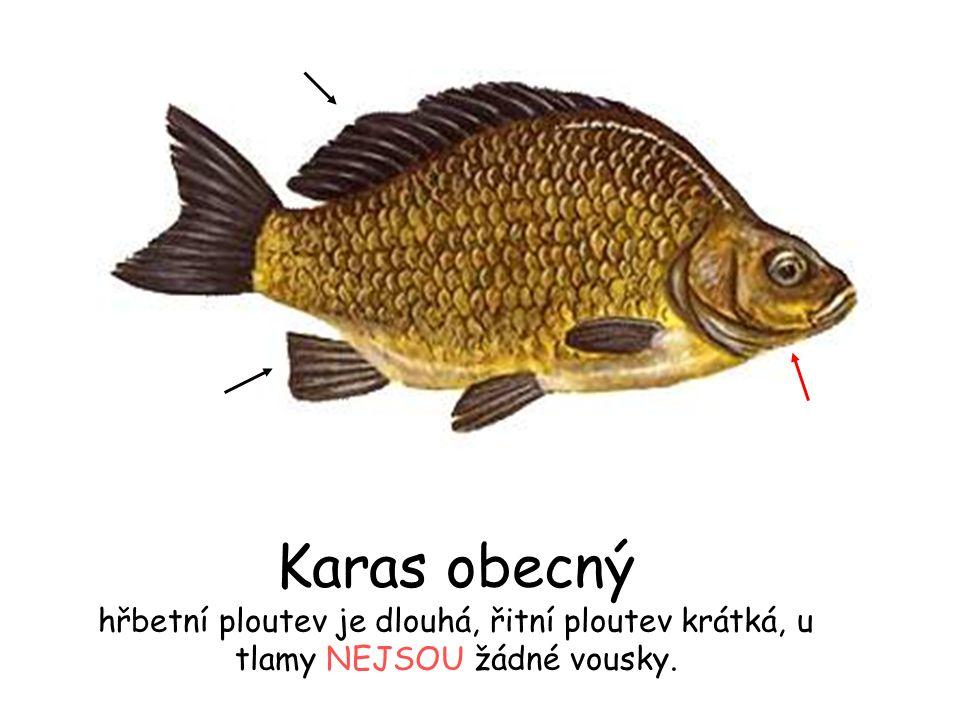Karas obecný hřbetní ploutev je dlouhá, řitní ploutev krátká, u tlamy NEJSOU žádné vousky.