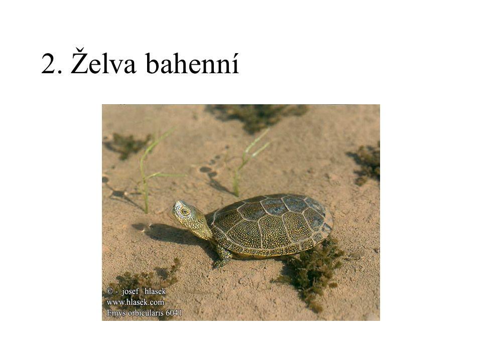 2. Želva bahenní