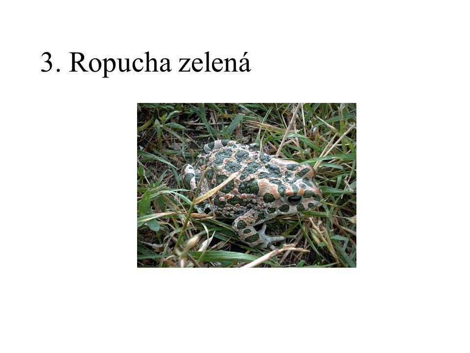 3. Ropucha zelená