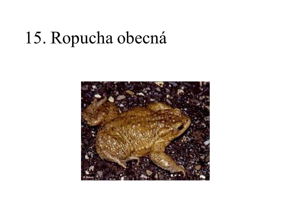 15. Ropucha obecná