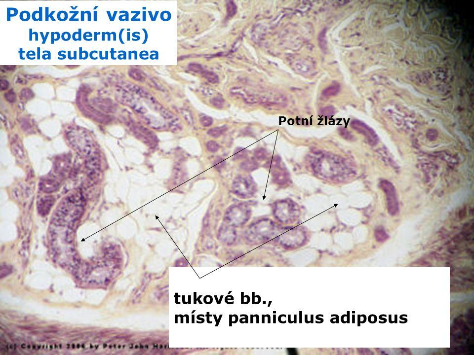 k ůže a kožní adnex a plocha 1,5 – 2,5 m 2 hmotnost – 16% t.h., Human Body