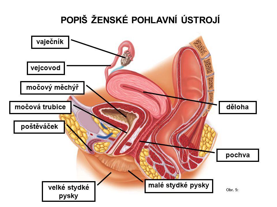 POPIŠ ŽENSKÉ POHLAVNÍ ÚSTROJÍ močový měchýř močová trubice malé stydké pysky poštěváček pochva děloha vejcovod vaječník velké stydké pysky Obr.