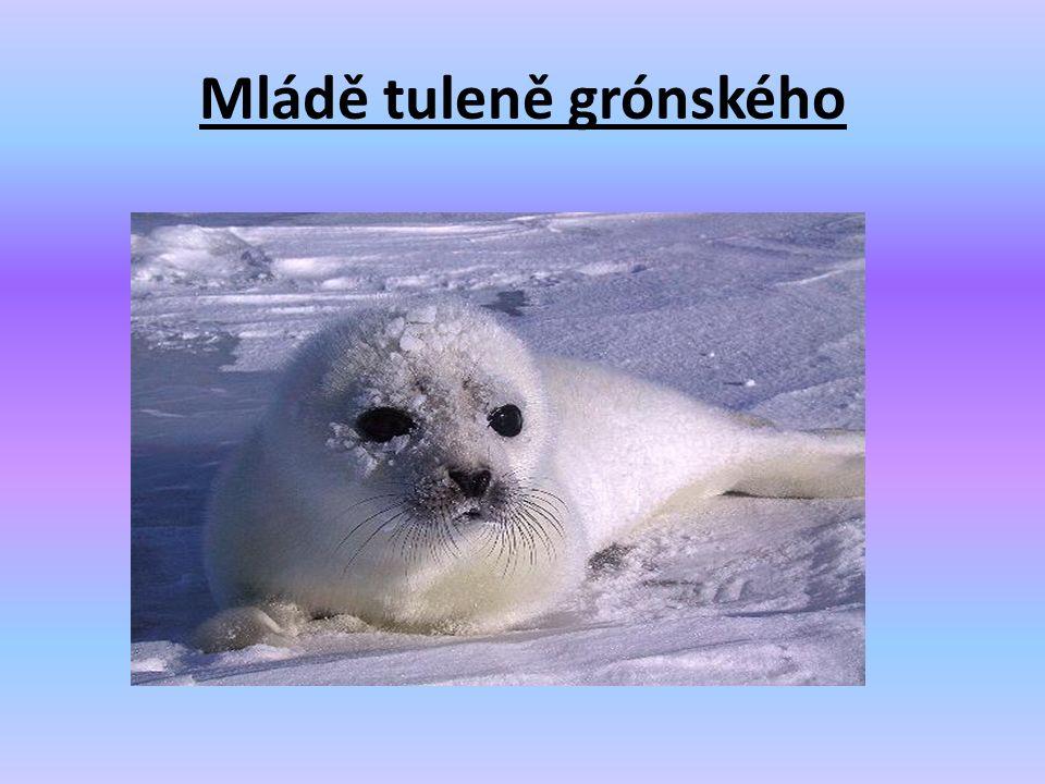 Mládě tuleně grónského
