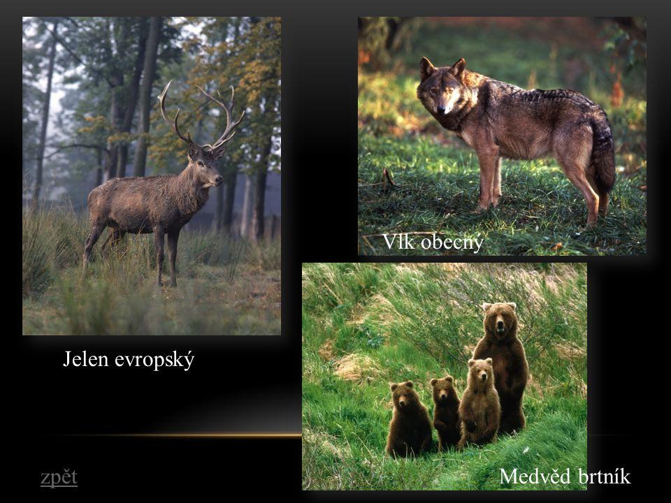 Jelen evropský Vlk obecný Medvěd brtníkzpět