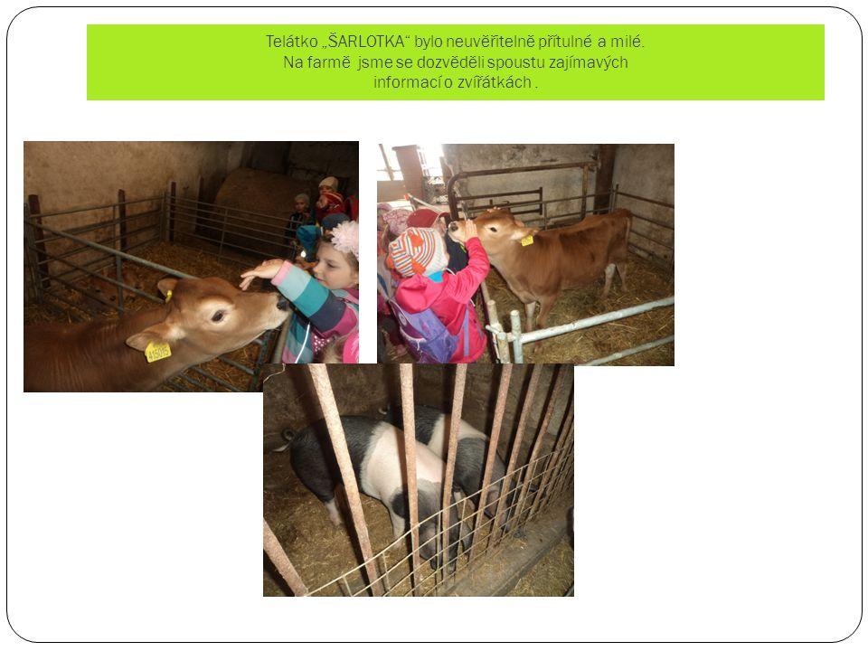 """Telátko """"ŠARLOTKA"""" bylo neuvěřitelně přítulné a milé. Na farmě jsme se dozvěděli spoustu zajímavých informací o zvířátkách."""