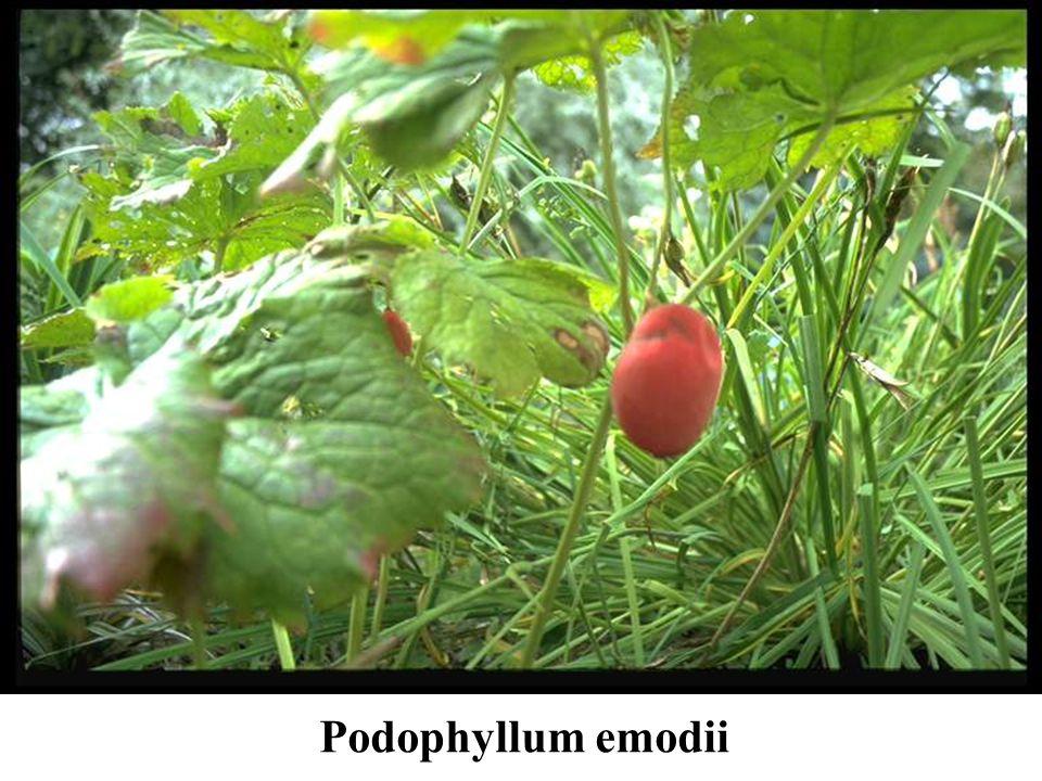 Podophyllum emodii