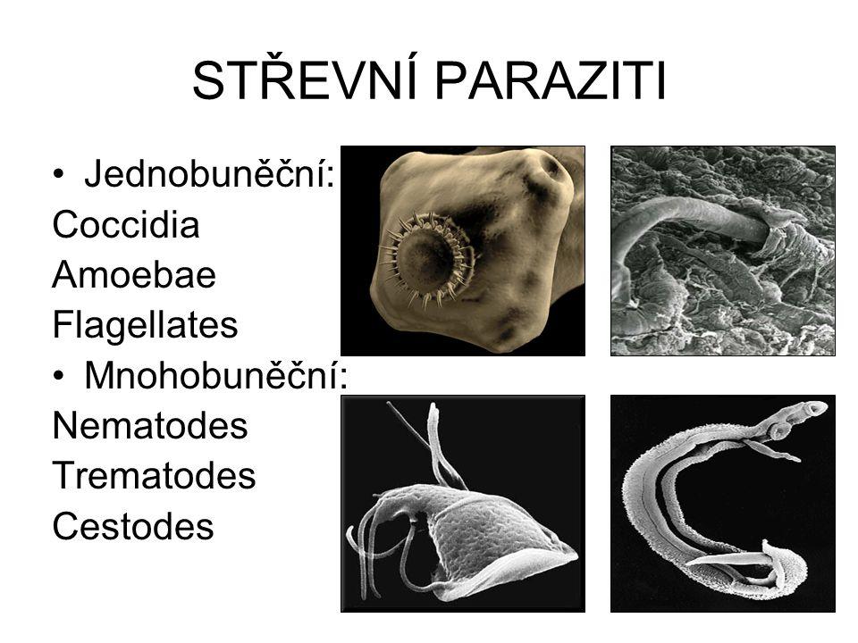 COCCIDIA Isospora belli Cryptosporidium spp. Cyclospora cayetanensis