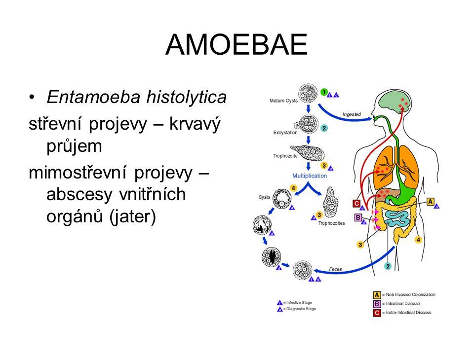 AMOEBAE Entamoeba histolytica střevní projevy – krvavý průjem mimostřevní projevy – abscesy vnitřních orgánů (jater)