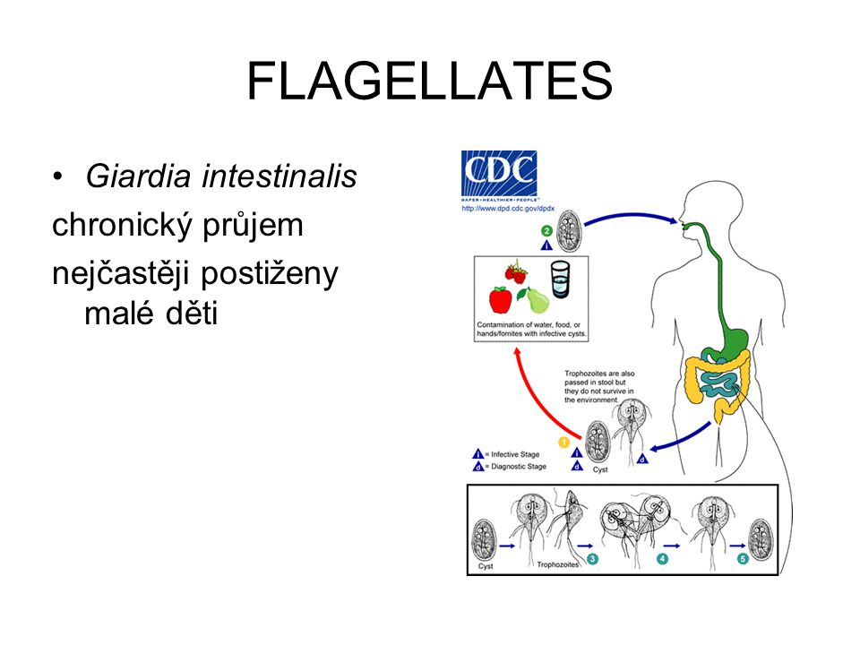 FLAGELLATES Giardia intestinalis chronický průjem nejčastěji postiženy malé děti