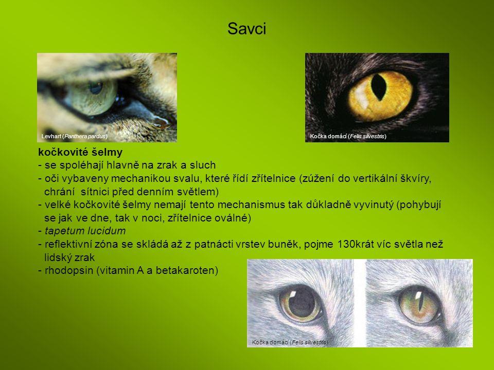 Savci Levhart (Panthera pardus) Kočka domácí (Felis silvestris) kočkovité šelmy - se spoléhají hlavně na zrak a sluch - oči vybaveny mechanikou svalu,