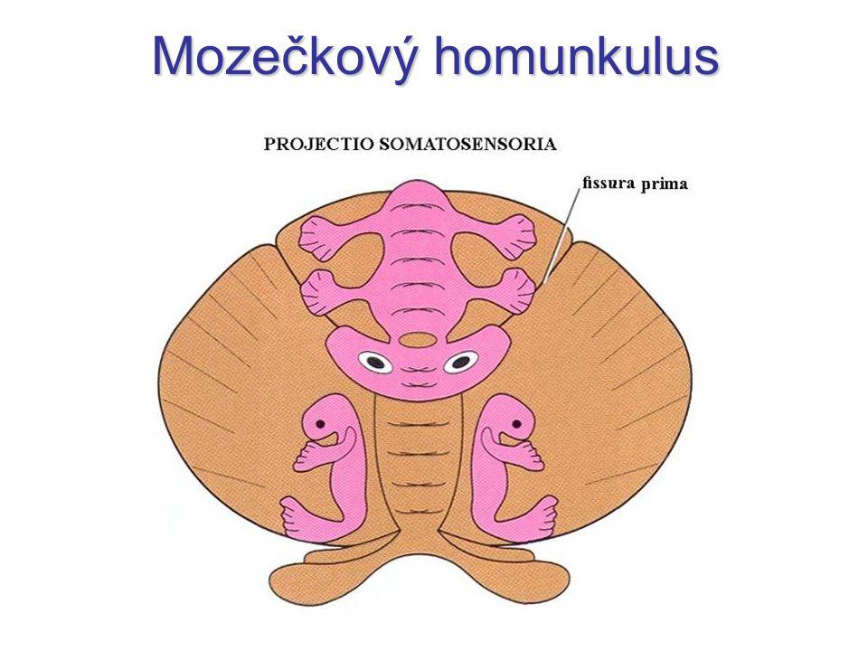 Mozečkový homunkulus