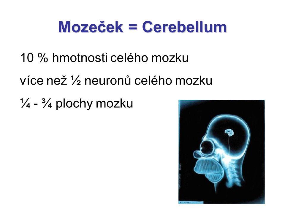 Mozeček = Cerebellum 10 % hmotnosti celého mozku více než ½ neuronů celého mozku ¼ - ¾ plochy mozku