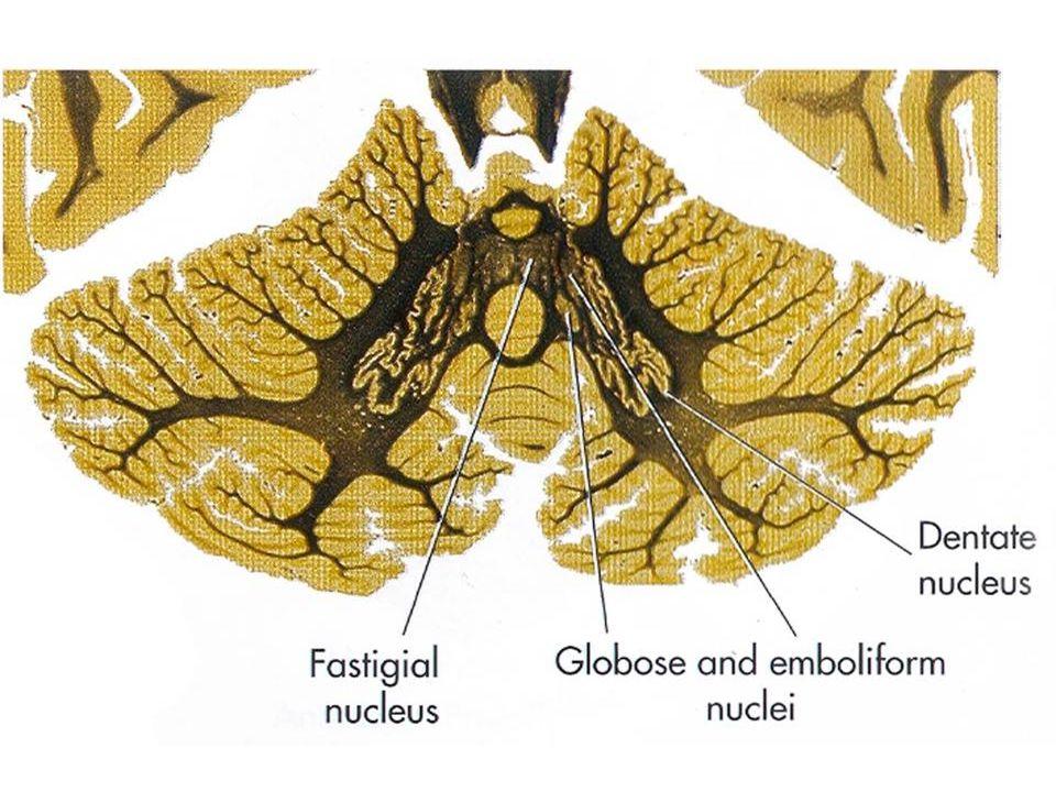 Mozeček – jádra a zapojení via pedunculus cer. inferior via pedunculus cer. superior