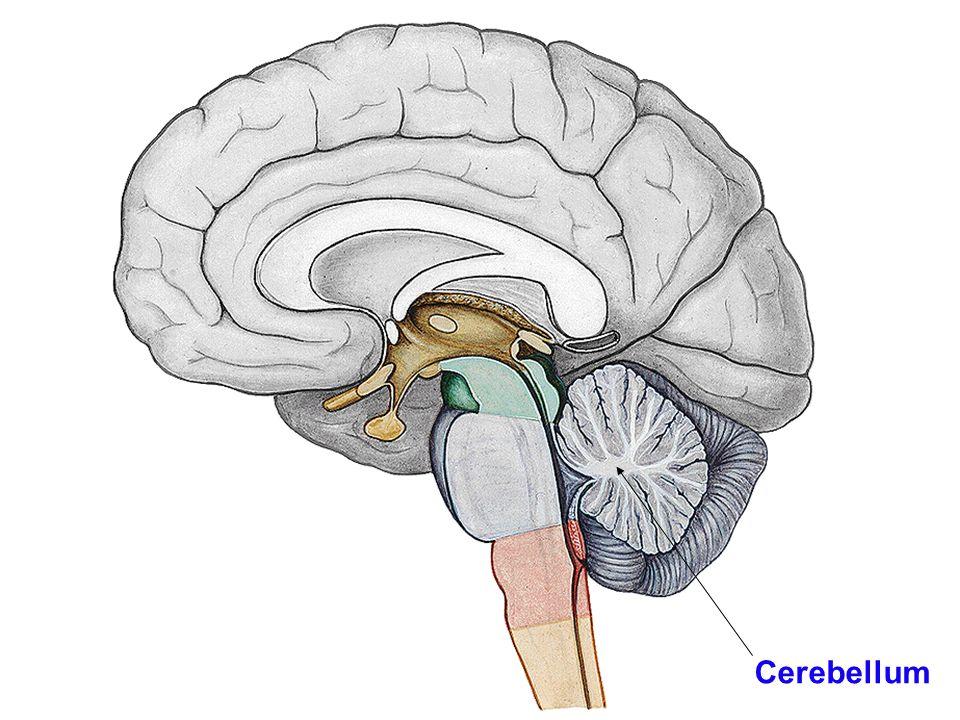 Mozeček – dělení dle vývoje: –archicerebellum –paleocerebellum –neocerebellum dle funkce: –vestibulocerebellum –spinocerebellum –cerebrocerebellum (= pontocerebellum) dle funkčn í ho umístění: –vermis a lobus floculonodularis –paravermální (intermedi á ln í ) z ó na –hemisf é ry (later á ln í z ó na) dle vnější stavby: –lobus anterior –lobus posterior –lobus flocculonodularis