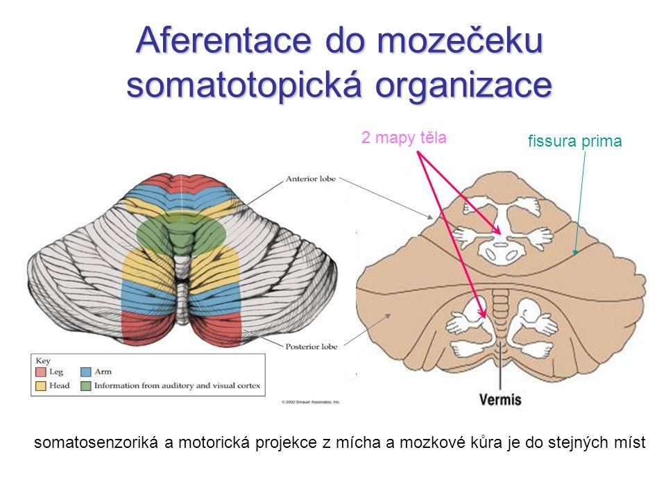 2 mapy těla fissura prima somatosenzoriká a motorická projekce z mícha a mozkové kůra je do stejných míst Aferentace do mozečeku somatotopická organizace