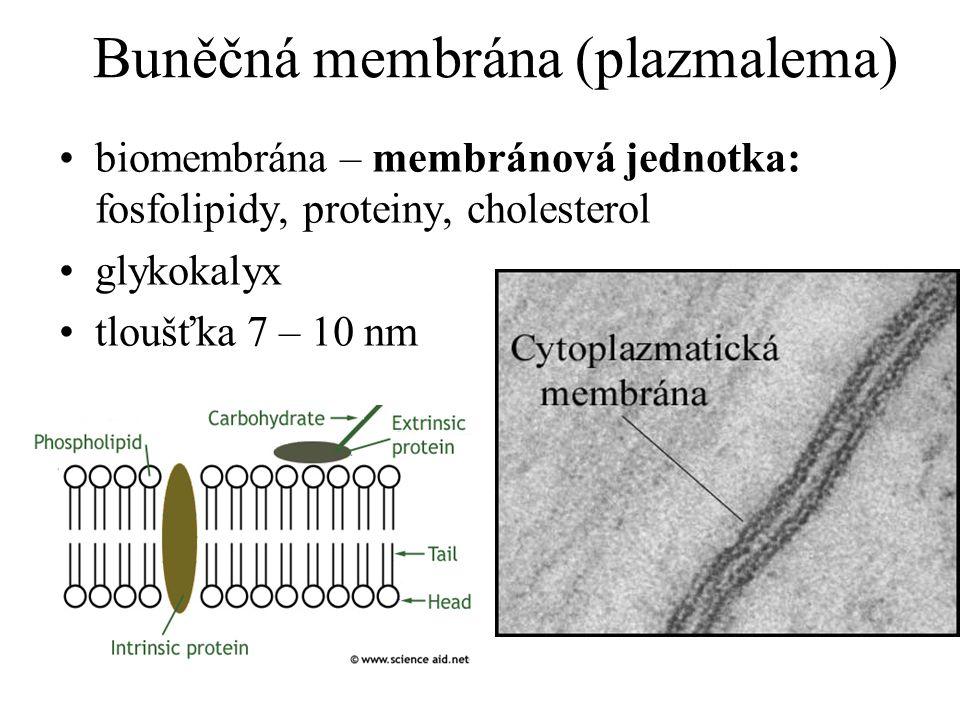 Buněčná membrána (plazmalema) biomembrána – membránová jednotka: fosfolipidy, proteiny, cholesterol glykokalyx tloušťka 7 – 10 nm
