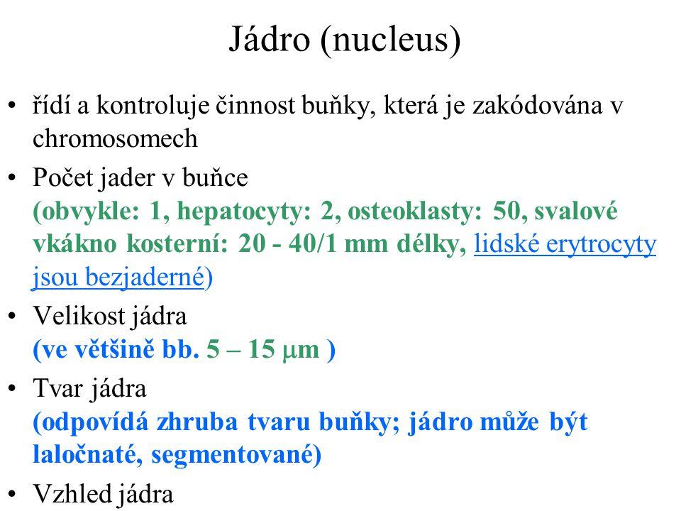 Jádro (nucleus) řídí a kontroluje činnost buňky, která je zakódována v chromosomech Počet jader v buňce (obvykle: 1, hepatocyty: 2, osteoklasty: 50, s