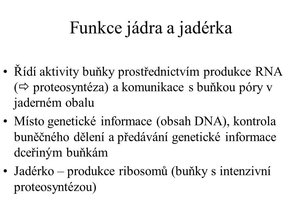 Funkce jádra a jadérka Řídí aktivity buňky prostřednictvím produkce RNA (  proteosyntéza) a komunikace s buňkou póry v jaderném obalu Místo genetické