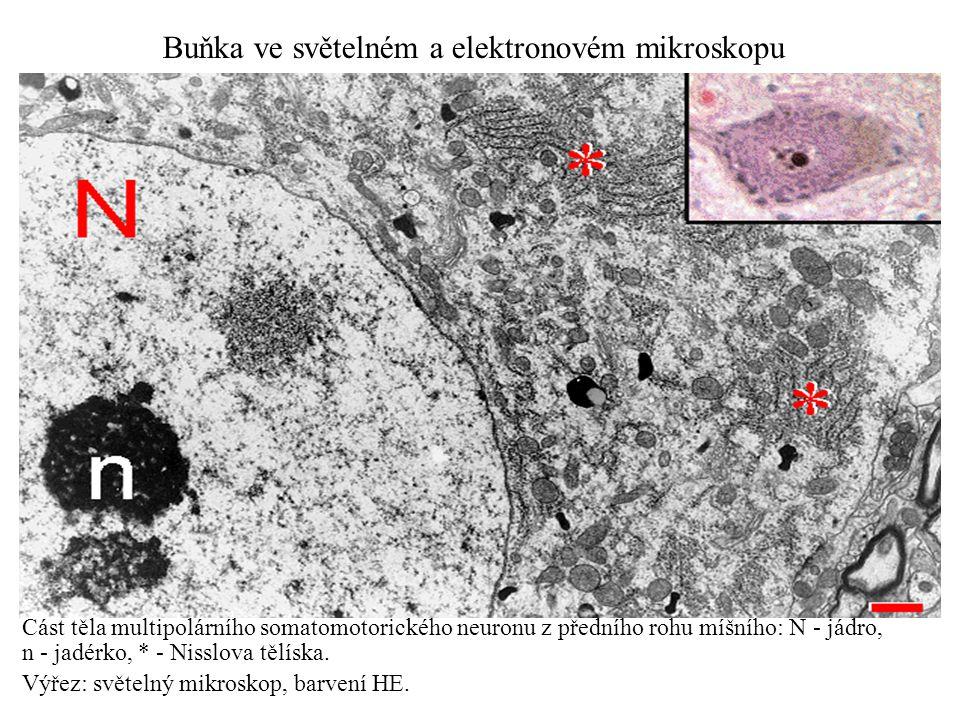 Část těla multipolárního somatomotorického neuronu z předního rohu míšního: N - jádro, n - jadérko, * - Nisslova tělíska. Výřez: světelný mikroskop, b