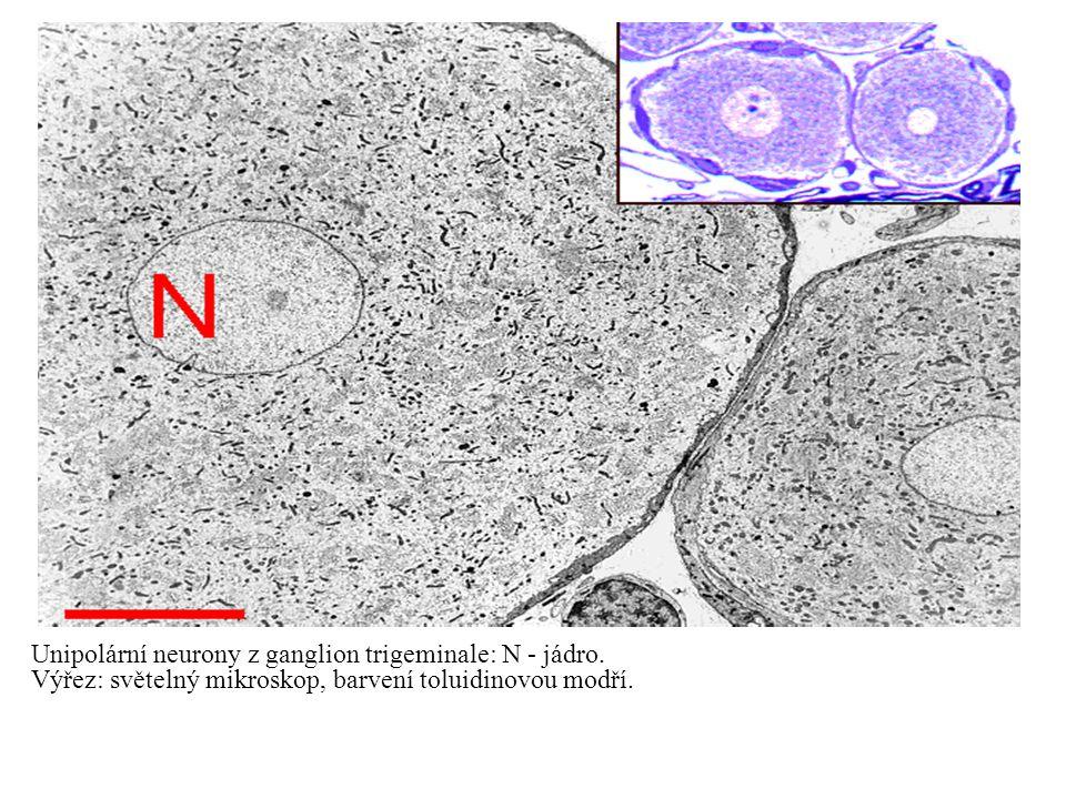 Unipolární neurony z ganglion trigeminale: N - jádro. Výřez: světelný mikroskop, barvení toluidinovou modří.
