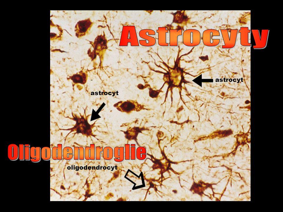 astrocyt oligodendrocyt