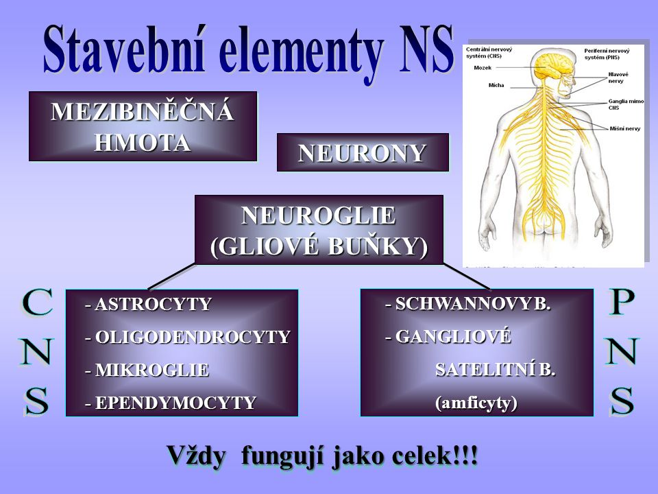 - SCHWANNOVY B. - SCHWANNOVY B. - GANGLIOVÉ - GANGLIOVÉ SATELITNÍ B. SATELITNÍ B. (amficyty) (amficyty) - ASTROCYTY - ASTROCYTY - OLIGODENDROCYTY - OL