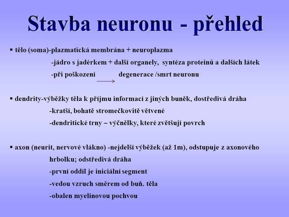  tělo (soma)-plazmatická membrána + neuroplazma -jádro s jadérkem + další organely, syntéza proteinů a dalších látek -při poškození degenerace /smrt