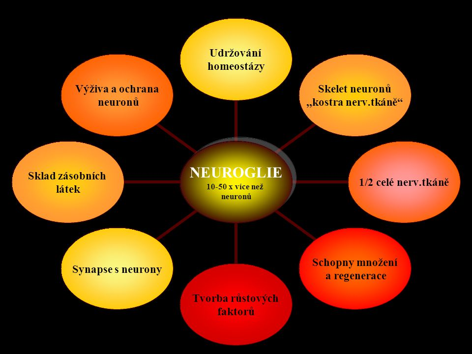 """NEUROGLIE 10-50 x více než neuronů Udržování homeostázy Skelet neuronů,,kostra nerv.tkáně"""" 1/2 celé nerv.tkáně Schopny množení a regenerace Tvorba růs"""