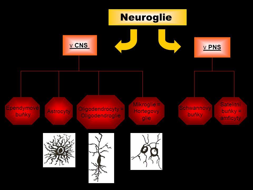 Neuroglie Astrocyty Mikroglie = Hortegovy glie Oligodendrocyty = Oligodendroglie Schwannovy buňky Satelitní buňky = amficyty v CNS v PNS Ependymové bu