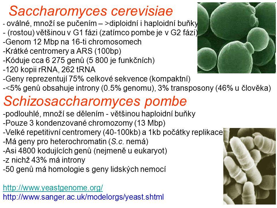 Saccharomyces cerevisiae - oválné, množí se pučením – >diploidní i haploidní buňky - (rostou) většinou v G1 fázi (zatímco pombe je v G2 fázi) -Genom 12 Mbp na 16-ti chromosomech -Krátké centromery a ARS (100bp) -Kóduje cca 6 275 genů (5 800 je funkčních) -120 kopii rRNA, 262 tRNA -Geny reprezentují 75% celkové sekvence (kompaktní) -<5% genů obsahuje introny (0.5% genomu), 3% transposony (46% u člověka) Schizosaccharomyces pombe -podlouhlé, množí se dělením - většinou haploidní buňky -Pouze 3 kondenzované chromozomy (13 Mbp) -Velké repetitivní centromery (40-100kb) a 1kb počátky replikace -Má geny pro heterochromatin (S.c.