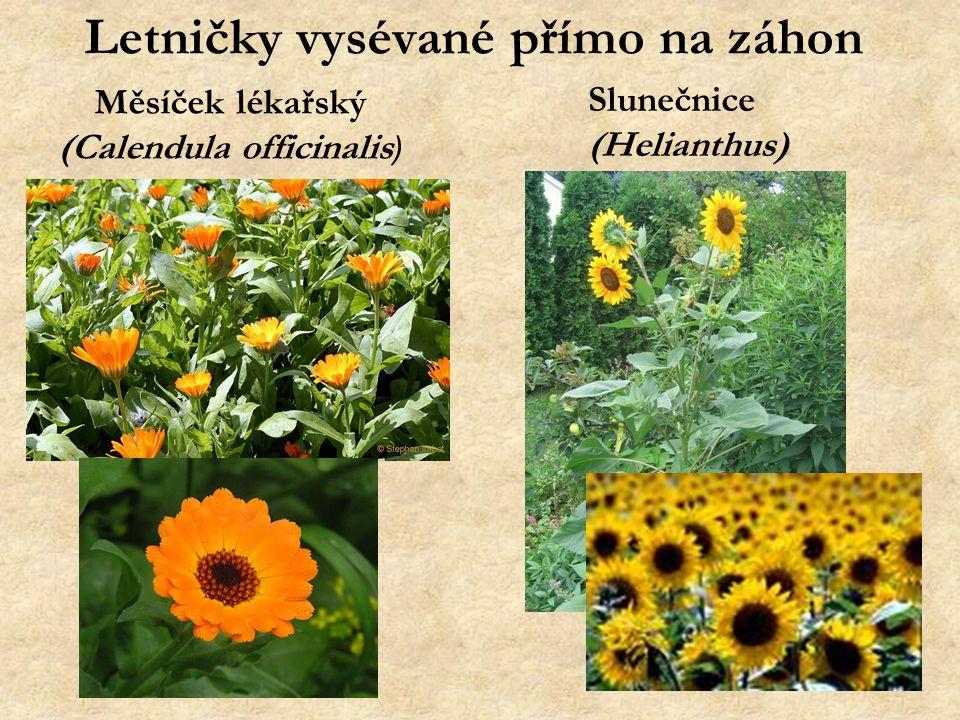 Letničky vysévané přímo na záhon Měsíček lékařský (Calendula officinalis ) Slunečnice (Helianthus)