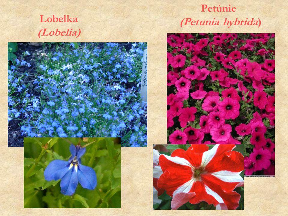 Lobelka (Lobelia) Petúnie (Petunia hybrida)